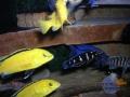 african-cichlids1