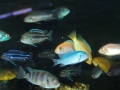 assorted-cichlids