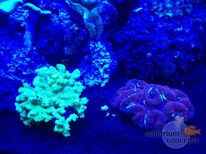 actinic-light-corals