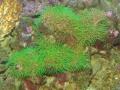 green-coral-polyps