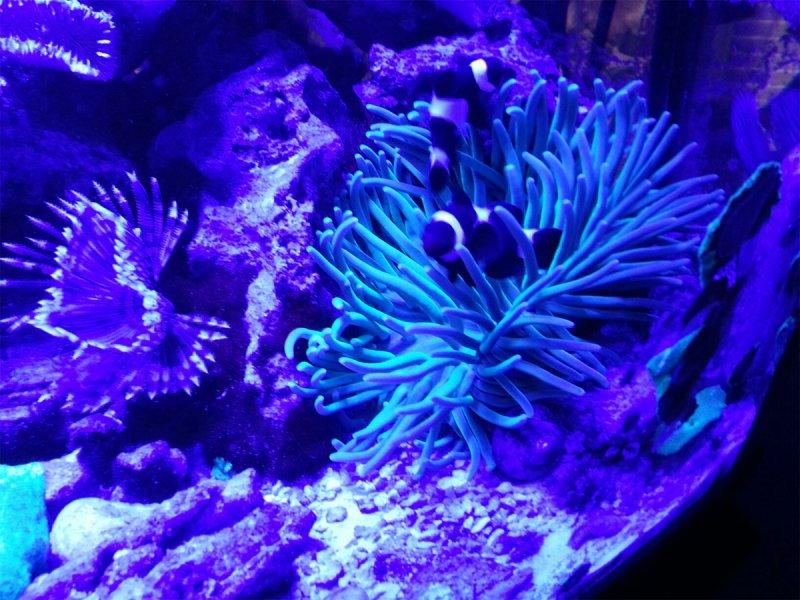anemone-clown-fish