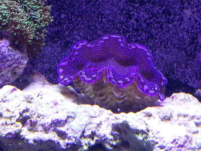 aquarium-clam