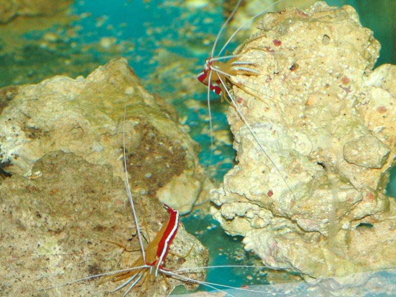 cleaner-shrimp