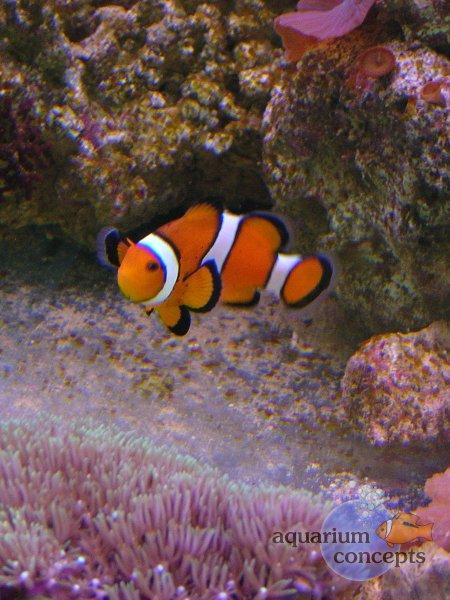 clown-fish2