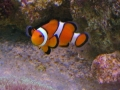 clown-fish2
